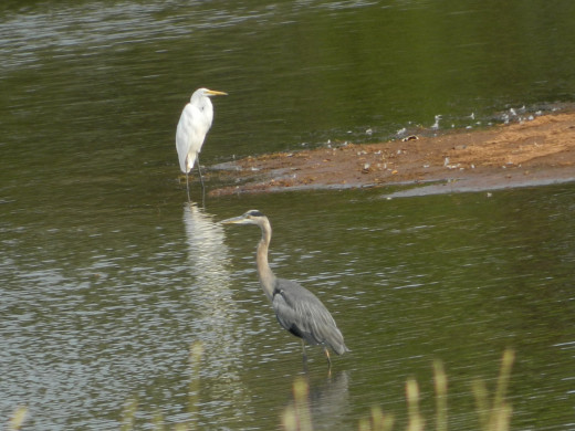 Great Blue Heron(lower) and Great Egret(upper)