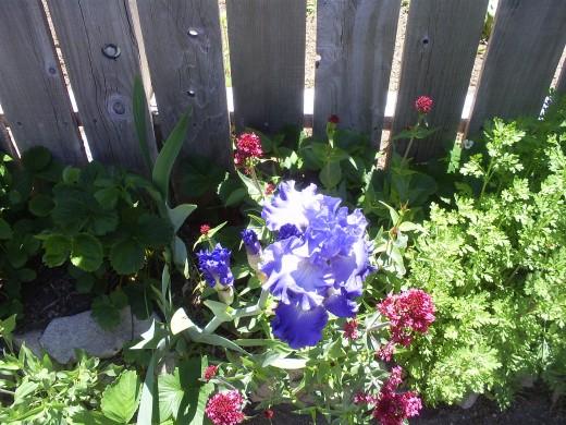 A blue iris.