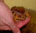 Animals in danger - why frogs and toads need our help