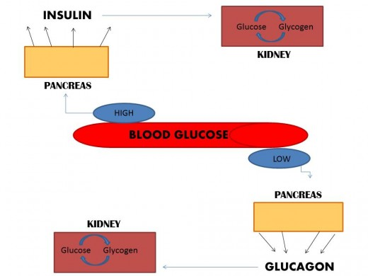 When blood glucose is high, the Pancreas releases Insulin which targets the liver to take up glucose and convert it to glycogen.  When blood glucose is low, the Pancreas will release Glucagon to instruct the liver to break down glycogen.