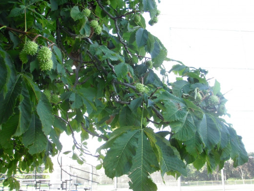 The Horsechestnut leaves are large and drooping, allowing water to drip off the ends.