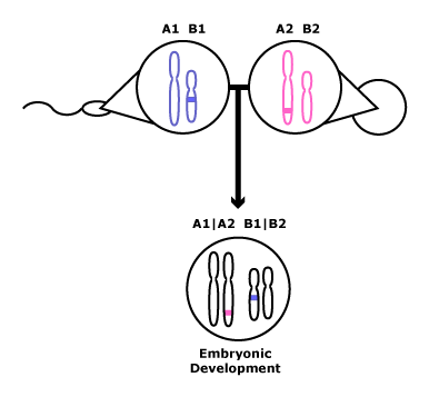 This picture shows how PWS occurs as described in the paragraph to the left.  The paternal chromosome 15 with deletion is paired with a maternally imprinted chromosome 15 and the outcome becomes PWS.