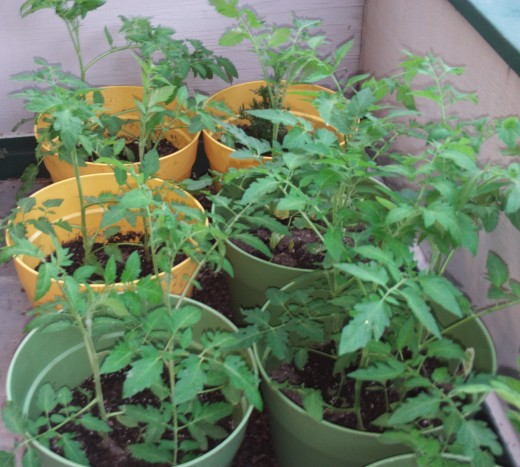 The tomato plant are growing taller.