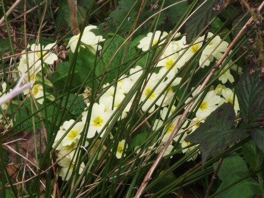 Primroses are one of the earliest plants to be found in full bloom