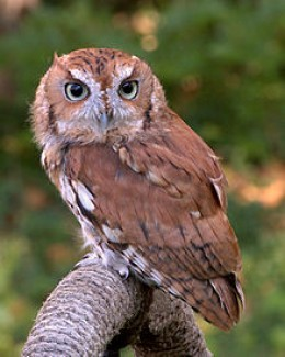 This is an Eastern Screech Owl, but it looked like the one we often encountered in San Tan Valley, Arizona.
