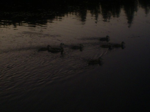 A closeup of the ducks.