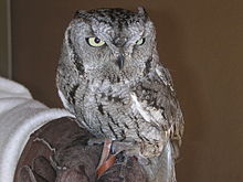 Western Screech Owl, average weight of adult is 5 ounces.