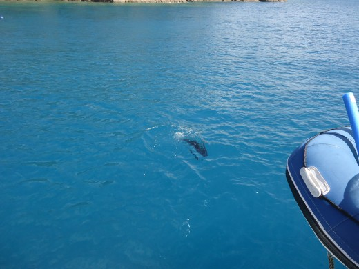 We loved seeing turtles as well as plenty of whales while sailing the Whitsundays .