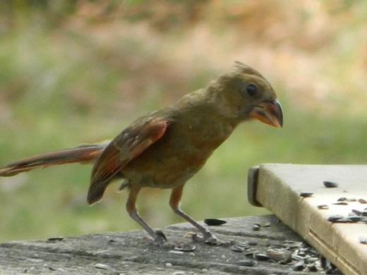 Another Juvenile Northern Cardinal