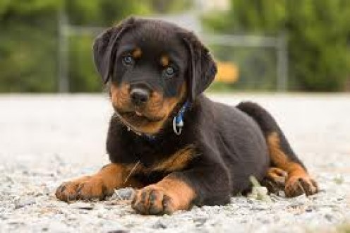It is best tot have had your Rottweilers while they are puppies.  This way you can train and teach the Rottweilers the way that you want them to behave.