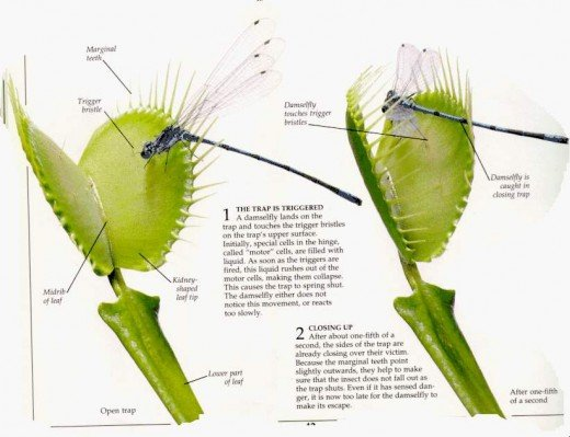 This diagram shows the parts of the flytrap leaf.