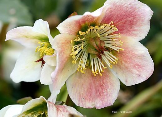 Cristmas rose