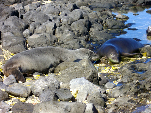 A mother and pup monk seal sunbathe at Kaena Point, Oahu in February 2009.  The pup is almost as big as Mom, who spends 5-6 weeks nursing without leaving her babyʻs side and gives as much as 50% of her body weight to her baby.