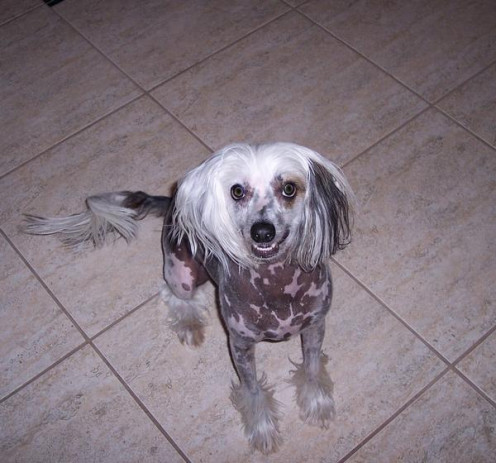My sweet Chinese Crested Harry