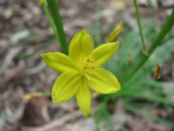 Bulbine bulbosa (Native Leek)