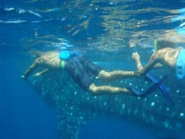 Snorkeling with the Whale Shark