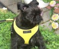 Jack in the Yellow Puppia Soft Harness