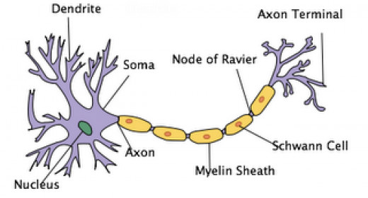 A Neuron in which the Nodes of Ranvier are illustrated.