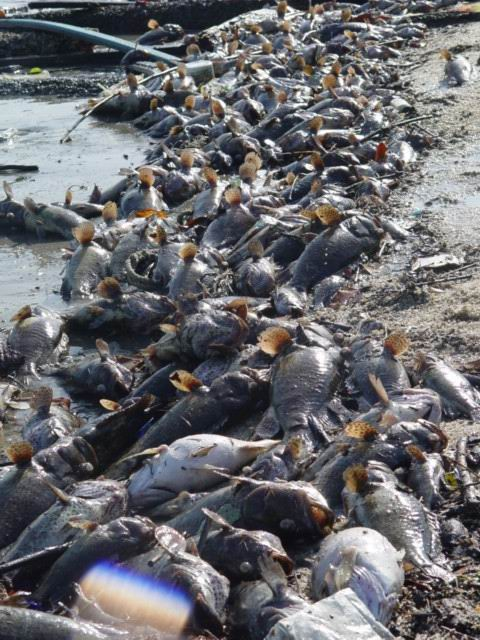 Aquatic animals die in large numbers due to water pollution