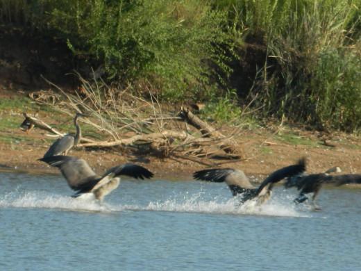 Canada Geese Landing