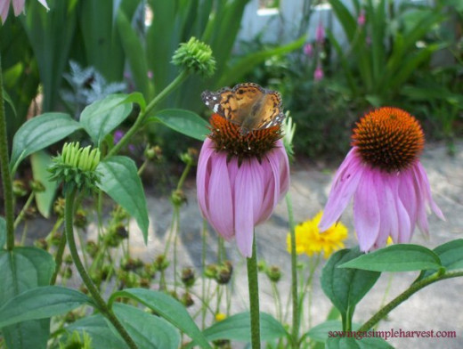 Native purple coneflower with moth drinking its nectar.