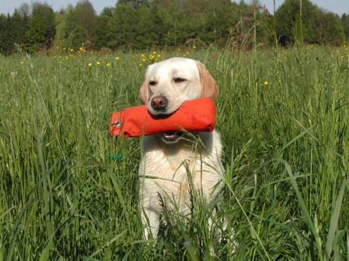How to Recognise Lungworm Symptoms in Your Dog