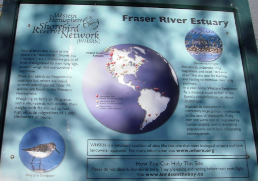 The Fraser River Estuary is an important international site for migrating birds in the western hemisphere.