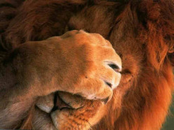 What Not To Do When Face To Face With A Lion!