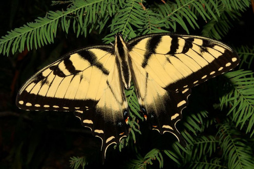 This swallowtail is taking a break from the party on a nearby ewe tree.