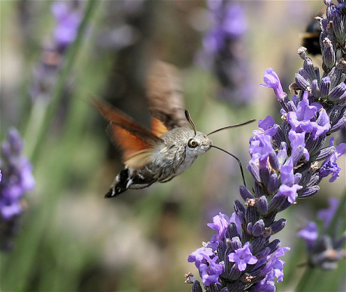 The hummingbird hawk moth is sometimes mistaken for a hummingbird.