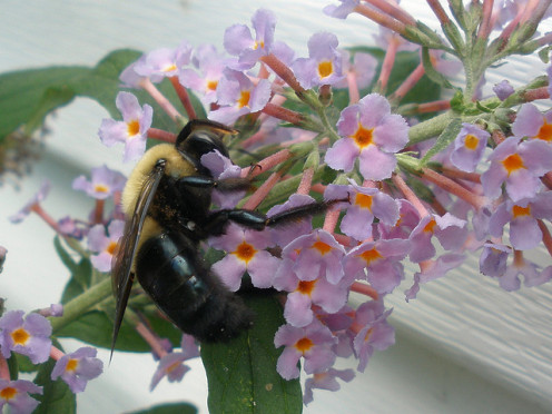 This carpenter bee is gathering nectar and pollen from the Buddleja.