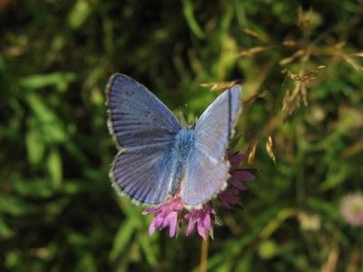 A pygmy blue butterfly, the smallest butterfly in North America.