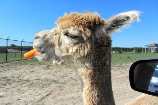 A llama in regular sunlight.  It is clearly eating an orange carrot.