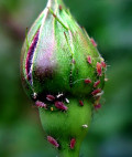 Get Rid of Aphids Naturally, Organically on Plants, Roses, Tomatoes
