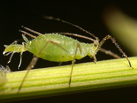 The young aphids are born live at the first instar stage allowing rapid development of large populations. Each female can produce thousands of young during a single summer