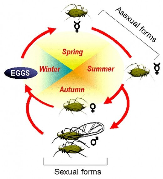 The lifecycle of aphids is dominated by females with males only being produced for mating in late autumn. Rapid Reproduction during the summer months is asexual cloning with young born live.