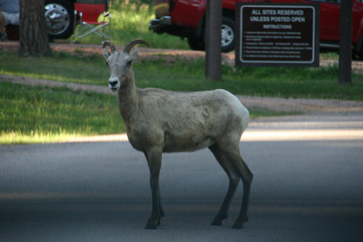 Big horn sheep wandering through Blue Bell Campground