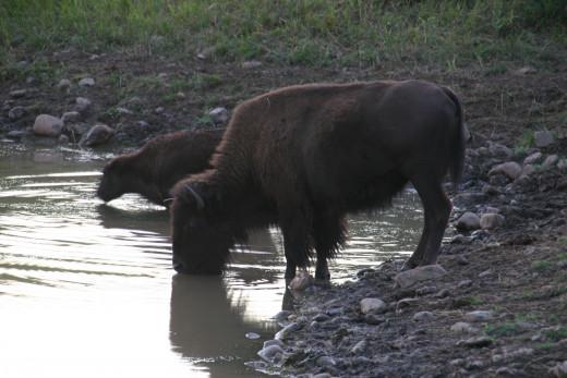 Bison on Wildlife Loop - Custer State Park