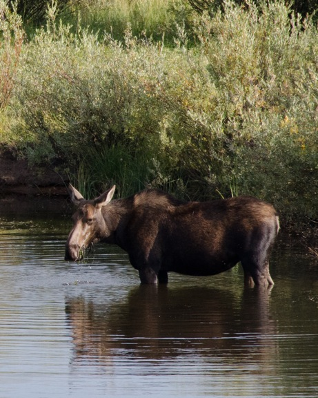 Same Cow Moose, same creek (Ranch), different photographer, better camera and great results.