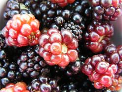 Eating Blackberries Can Keep You Healthy