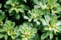 Enhance the beauty of your breast naturally with Fenugreek seed