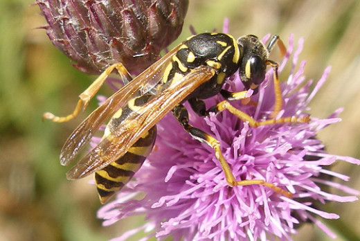 Not to be confused with a honeybee, this yellow jacket has all the characteristics of a classic wasp.