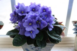Four Ways to Propagate African Violets
