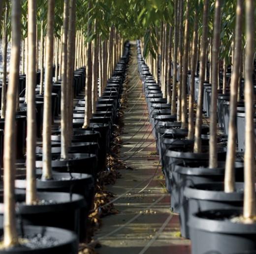 A row of fruit trees at a nursery
