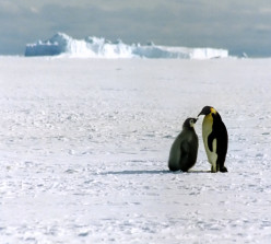 Emperor Penguin with chick, Ross Sea