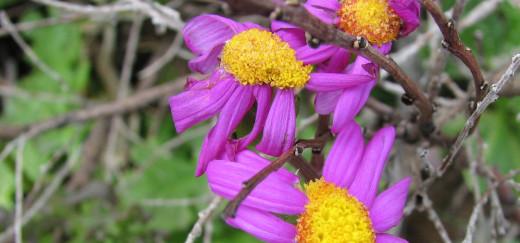 Coastal flowers,  Leeuwin National Park, Western Australia.