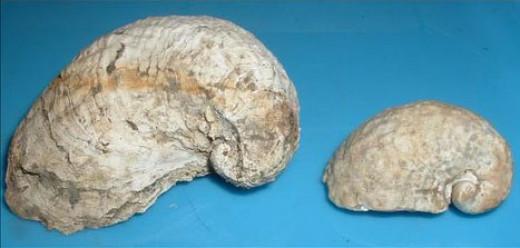 Figure 7.  Exogyra costata Say and E. costata var. cancellata Stephenson