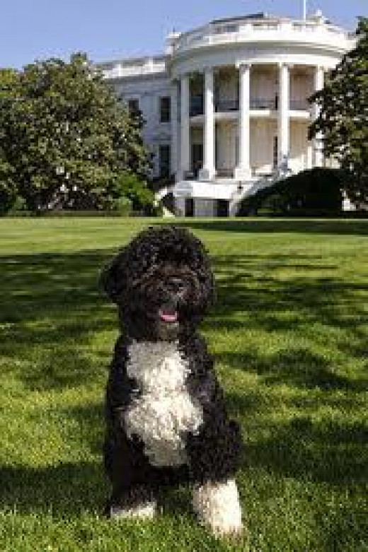 Bo - the presidential dog