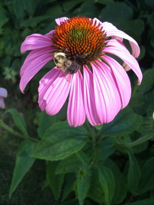 photo of bee on echinacea flower.