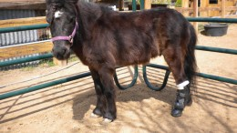 Midnite the miniature horse wearing his equine prosthetic leg.
